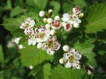Schmelzende Blumen des Weißdorns mit dem roten Staubgefässe Stockfoto