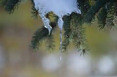 Schmelzender Schnee auf Baum Stockfotografie
