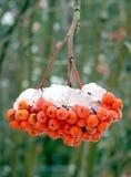 Schmelzender Schnee auf Ebereschenbeeren. Lizenzfreie Stockfotografie