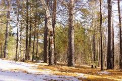 Schmelzender Schnee im Wald Stockfotos
