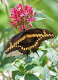 Schmetterling Stockfotos