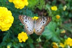 Schmetterling Lizenzfreie Stockfotos