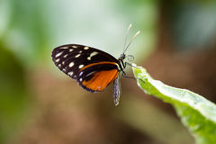 Schmetterling Immagine Stock