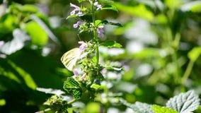 Schmetterling stock footage
