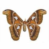 Schmetterling: Atlasspinner stockbilder