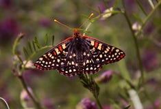Schmetterling auf Anlage Lizenzfreie Stockbilder