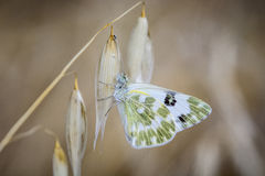Schmetterling auf Blättern und grünlichem Weiß Stockbild