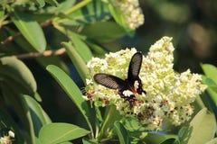Schmetterling auf Blütenstaub des Baums stockbild