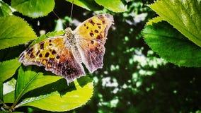 Schmetterling auf Blatt Stockfotografie