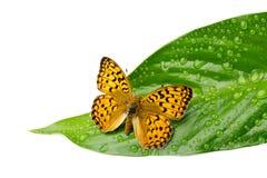 Schmetterling auf Blatt mit Tropfen Lizenzfreie Stockfotografie