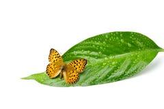 Schmetterling auf Blatt mit Tropfen Stockbilder