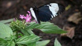 Schmetterling auf Blume stock video footage