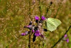Schmetterling auf Blume Lizenzfreie Stockbilder