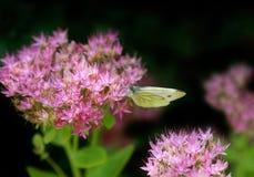 Schmetterling auf Blume Stockfotografie