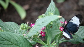 Schmetterling auf Blumenabschluß oben stock footage