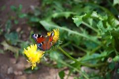 Schmetterling auf Blumenlöwenzahnsommer lizenzfreie stockbilder