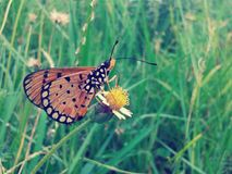 Schmetterling auf Blumenweinleseart Stockfotografie