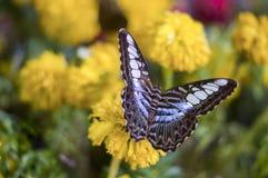 Schmetterling auf Calendula Lizenzfreie Stockfotografie
