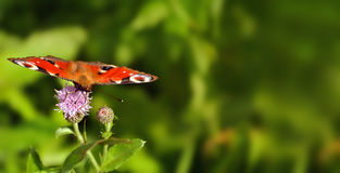 Schmetterling auf Centaureablumen Sommerfeldhintergrund Stockfotografie