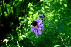 Schmetterling auf Dahlie stockbilder