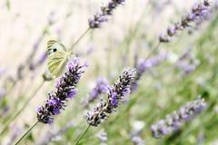 Schmetterling auf dem Lavendel stockbild