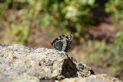 Schmetterling auf dem Stein Stockbilder