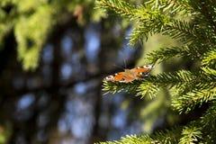 Schmetterling auf den Fichtenzweigen Stockbild