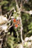 Schmetterling auf den Weidenniederlassungen Lizenzfreie Stockbilder