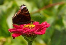 Schmetterling auf der Blume auf Zinnia lizenzfreies stockfoto
