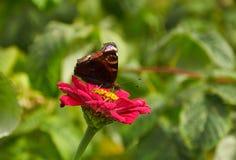 Schmetterling auf der rosa Blume von Zinnia stockfoto
