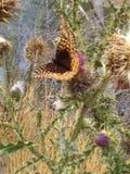 Schmetterling auf Distel lizenzfreie stockfotos