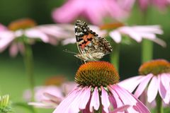 Schmetterling auf Echinacea Stockbild