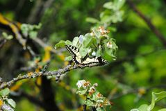 Schmetterling auf einem Baumast im Frühjahr lizenzfreie stockbilder