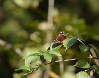 Schmetterling auf einem Blatt Lizenzfreies Stockfoto