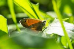 Schmetterling auf einem Blatt von grass-2 Stockfoto