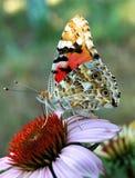 Schmetterling auf einem Blume Echinacea, Blumen Nektar trinkend stockfoto