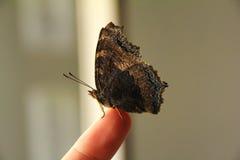 Schmetterling auf einem Finger Lizenzfreie Stockfotografie