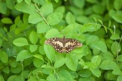 Schmetterling auf einem Grün treibt Hintergrund Blätter thailand Stockbild