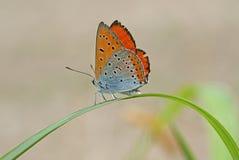 Schmetterling auf einem Grashalm Lizenzfreies Stockfoto