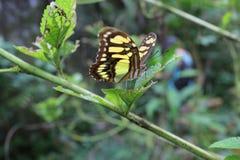 Schmetterling auf einer Blattfütterung lizenzfreies stockbild