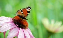 Schmetterling auf einer Blume Stockbilder