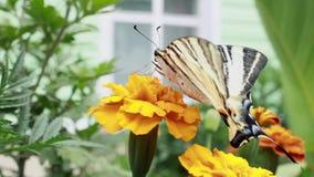 Schmetterling auf einer Blume Das Insekt sammelt und trinkt Nektarhonig vom gelben Köpfchen stock video footage