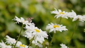 Schmetterling auf einer Blume Nektar sammelnd Die Welt von Insekten stock footage