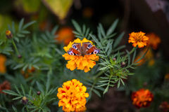 Schmetterling auf einer Blumenringelblume Stockfoto