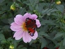Schmetterling auf einer Dahlienblume lizenzfreie stockfotos