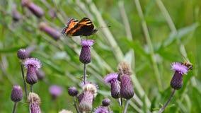 Schmetterling auf einer Distel Stockbild