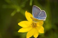 Schmetterling auf einer gelben Blüte Stockfotografie