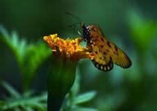 Schmetterling auf einer gelben Blume in einem Garten Stockfotografie