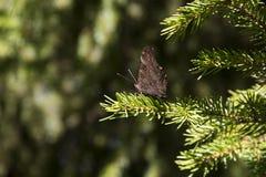 Schmetterling auf einer Koniferenniederlassung Lizenzfreies Stockbild