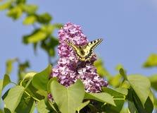 Schmetterling auf einer lila Blüte einer lila Nahaufnahme Stockfotografie